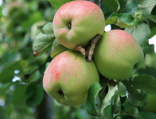 яблоки, яблоня