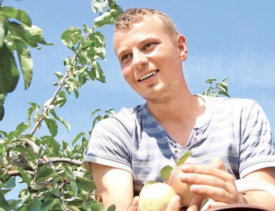 урожай яблок, яблоки, ждановичи