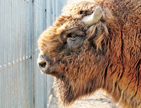 зубр, минский зоопарк