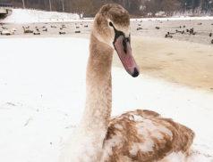 водохранилище крыница, лебедь